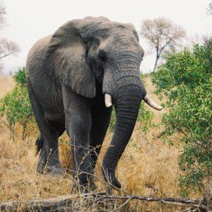 Elefant, Krüger Nationalpark | Südafrika Rundreise Reisetipps: Reiseberichte, Routen, Tipps