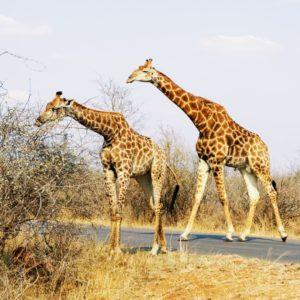 Giraffe, Krüger Nationalpark | Südafrika Rundreise Reisetipps: Reiseberichte, Routen, Tipps