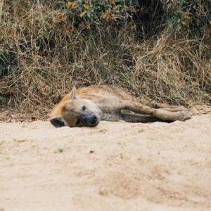 Hyäne, Krüger Nationalpark | Südafrika Rundreise Reisetipps: Reiseberichte, Routen, Tipps