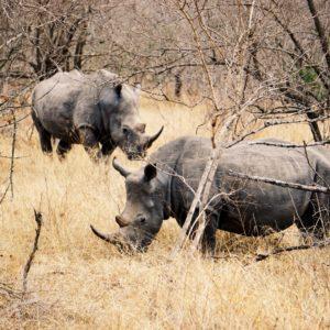 Nashorn, Krüger Nationalpark | Südafrika Rundreise Reisetipps: Reiseberichte, Routen, Tipps