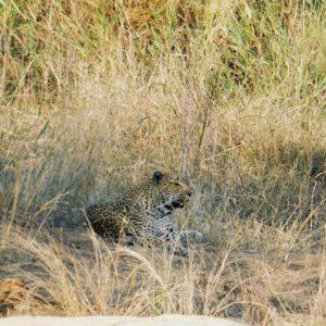 Leopard, Krüger Nationalpark | Südafrika Rundreise Reisetipps: Reiseberichte, Routen, Tipps