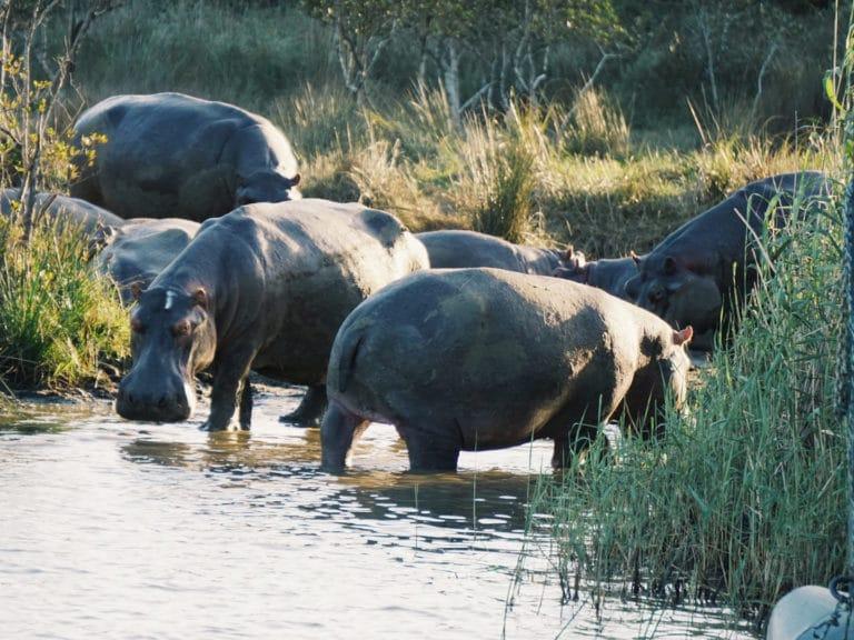 Nilpferd St. Lucia Wetland Park | Südafrika Rundreise: Reisebericht, Reisetipps, Routen, Highlights, Reiseblog