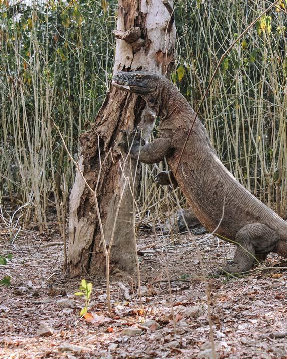 Komodowaran der sich an einem Baum aufbäumt auf der Insel Rinca im Komodo Nationalpark, Indonesien