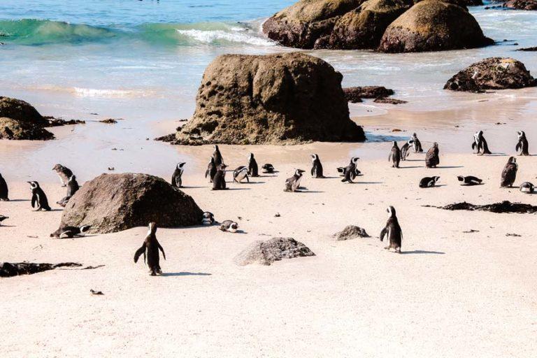 Pinguine am Boulders Beach in Simon's Town