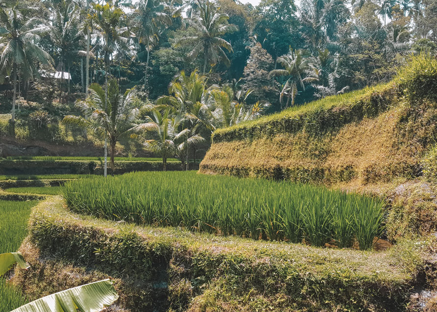 Reisterrassen auf Bali: 11 Highlights