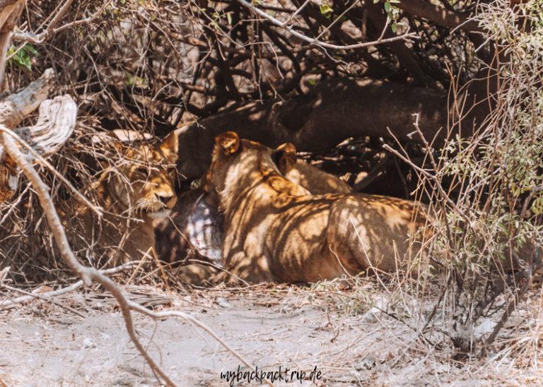 Botswana Chobe Nationalpark Loewen