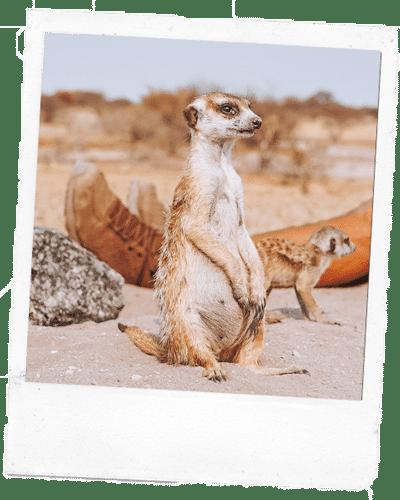 Botswana Erdmaennchen Planet Baobab Polaroid
