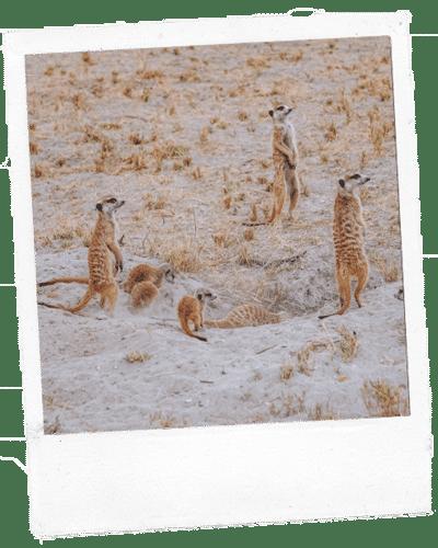 Botswana Erdmaennchen Polaroid