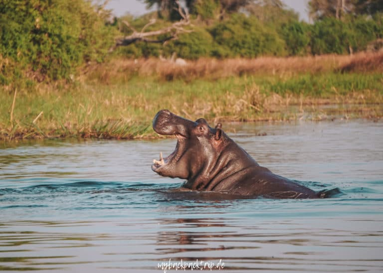 Botswana Okavango Delta Hippo