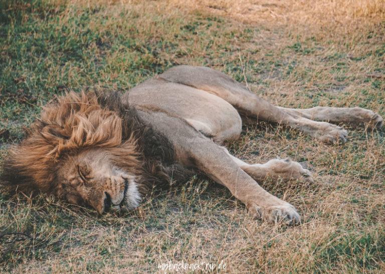 Botswana Okavango Delta Lion