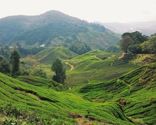 Cameron Highlands | Malaysia Rundreise: Reisebericht, Reisetipps, Routen, Highlights, Reiseblog