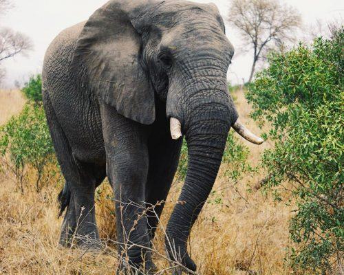 Elefant, Krüger Nationalpark   Südafrika Rundreise Reisetipps: Reiseberichte, Routen, Tipps