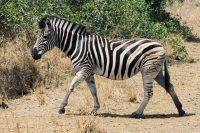 Zebra, Krüger Nationalpark | Südafrika Rundreise Reisetipps: Reiseberichte, Routen, Tipps